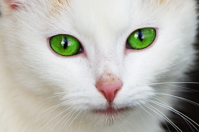 white cat photo