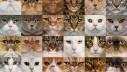 Kategorije i pasmine mačaka