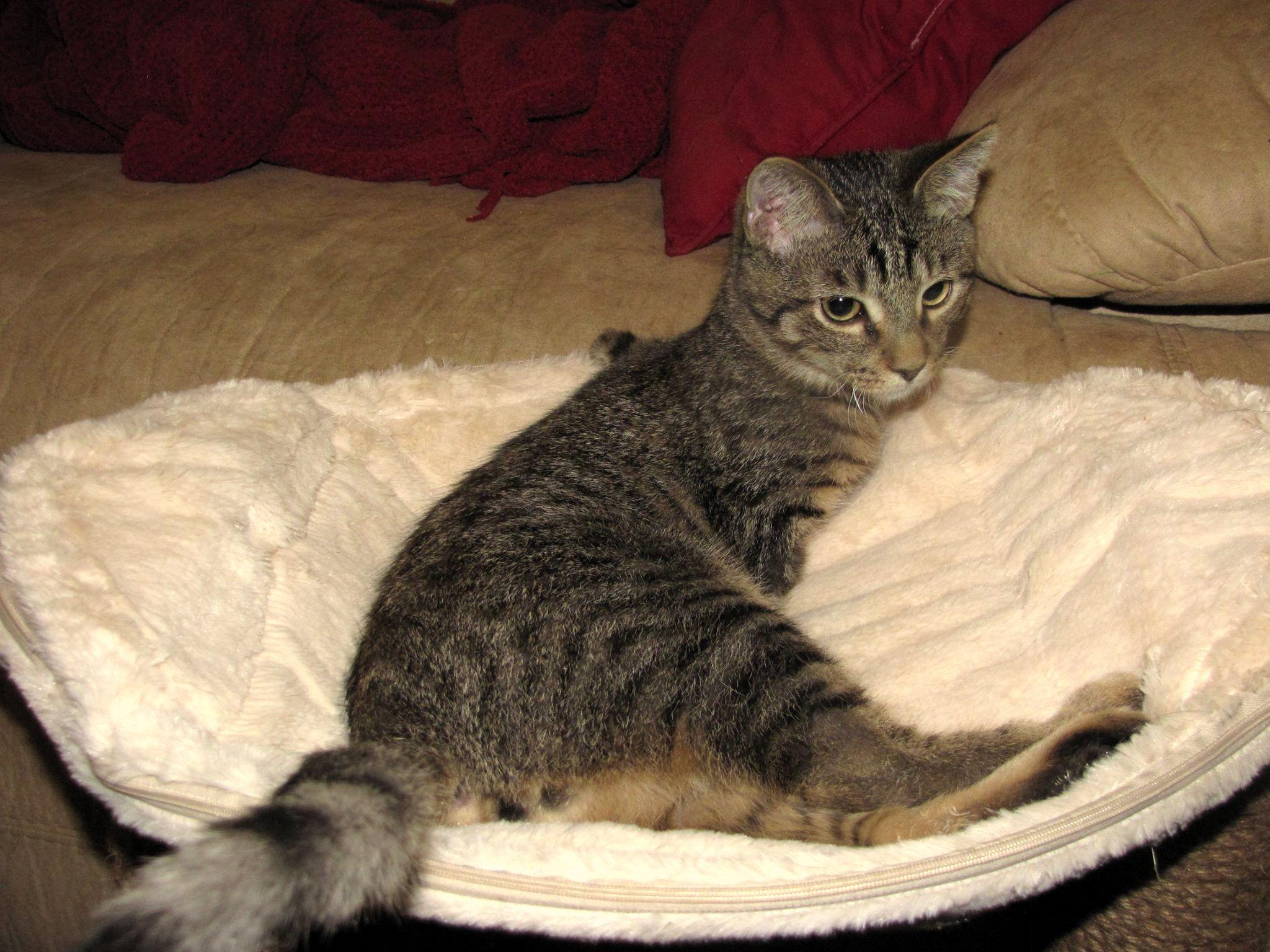 Dvonožni mačak Mercury