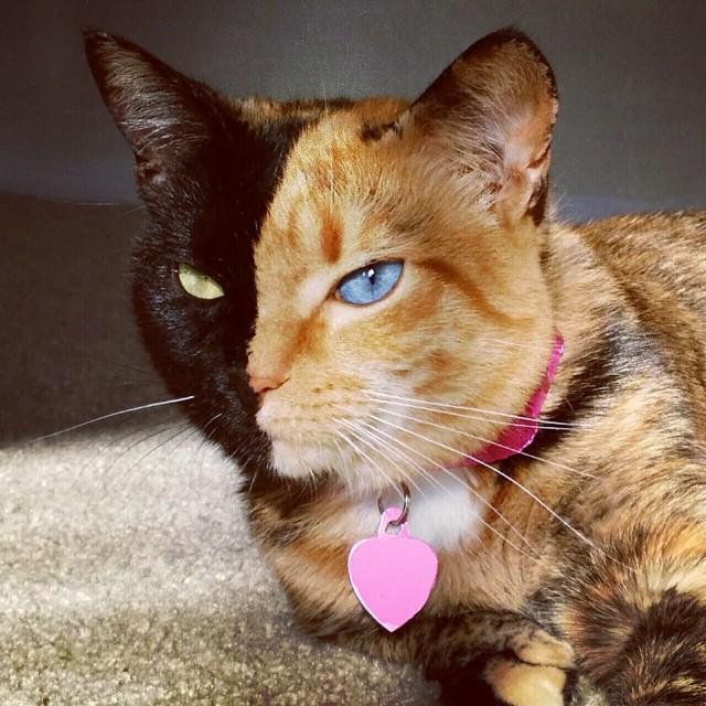 Mačka s dva lica – upoznajte Venus