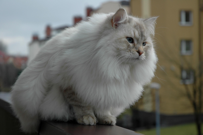 Sibirska mačka