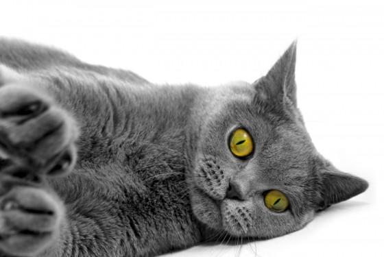Tipični predstavnik britanske mačke