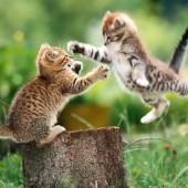 Borba mačaka