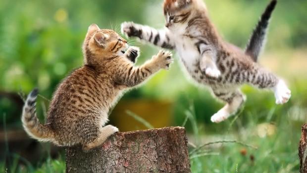 Spriječite borbe među mačkama