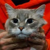 Alergična mačka