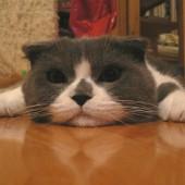 Škotska macka