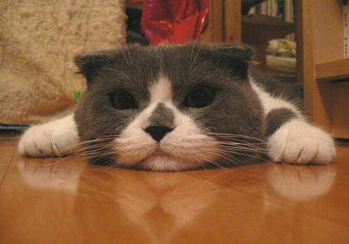 Škotska mačka – sova u krznu mačke