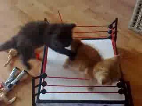 Okrutne borbe mačaka u ringu