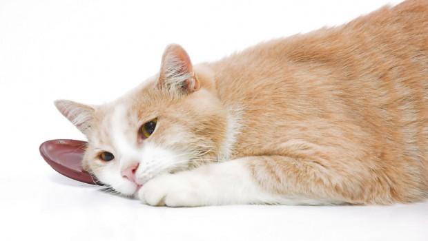Pomoć za mačke koje pate od proljeva