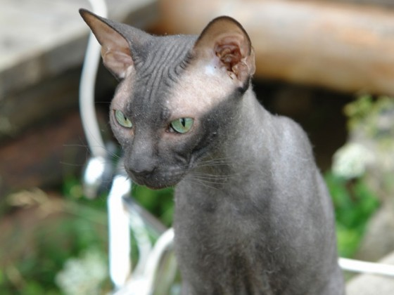 Mačje uho