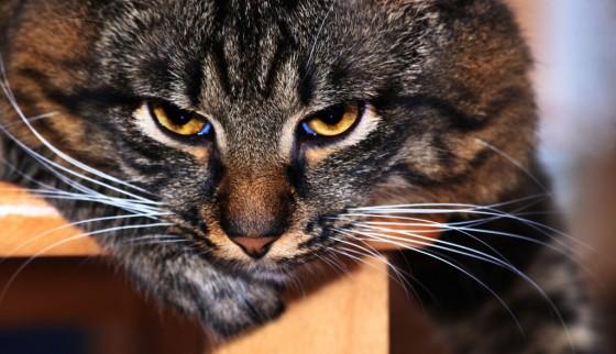 Mačji brkovi