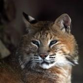 Pripitomljavanje mačke i geni