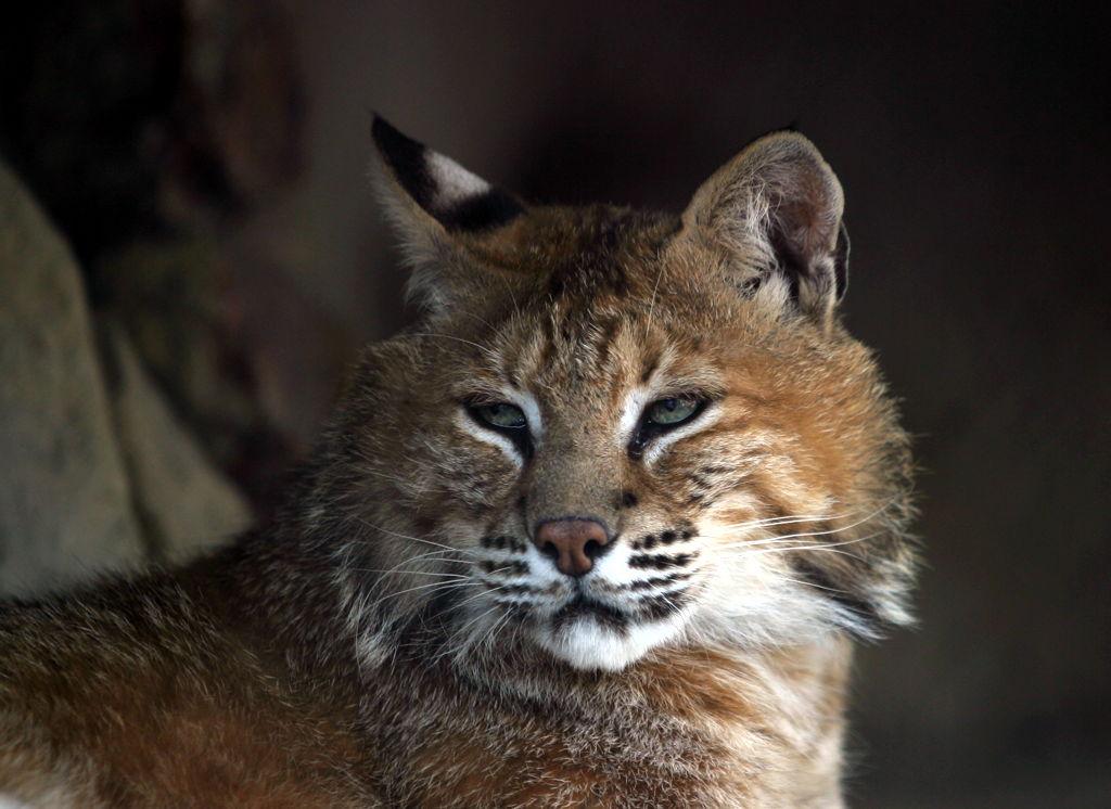 Promjene u genima su povezane sa pripitomljavanjem mačke