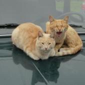 Mačka i automobil