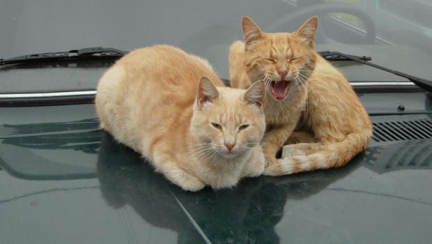 Zašto mačke ne vole vožnju u automobilu?