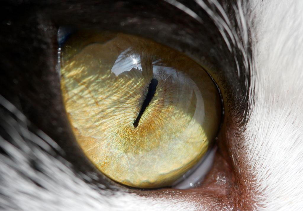Jeste li se ikad zapitali zašto mačke imaju okomito izdužene zjenice?