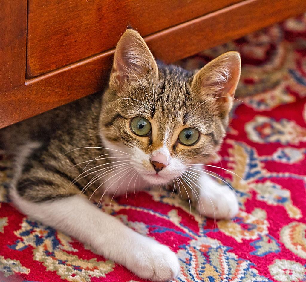 Mačka na tepihu