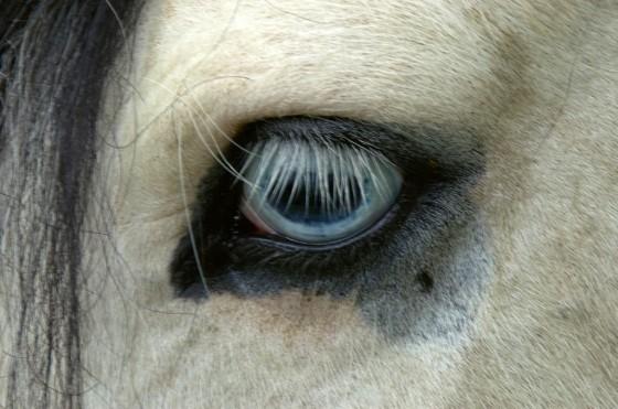 Oko od konja