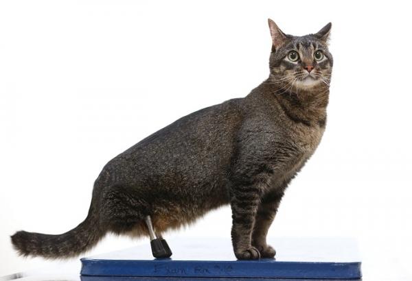 Mačak je dobio umjetne noge i opet može hodati!