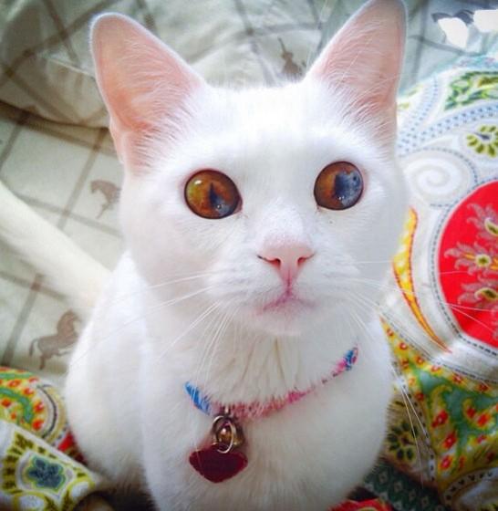 Heterokromija na mački