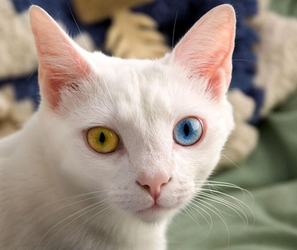 Mačke magičnih očiju – heterokromija