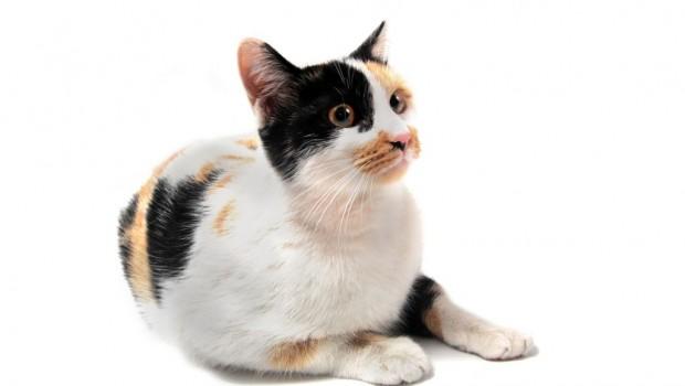 Šarene mačke imaju – najmačkastiju narav!