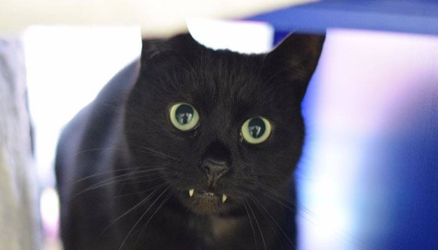 "Mačak vampir ""srušio"" internet"