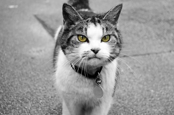Dominantna mačka