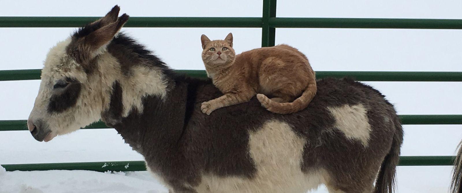 Mačak jaše magarca