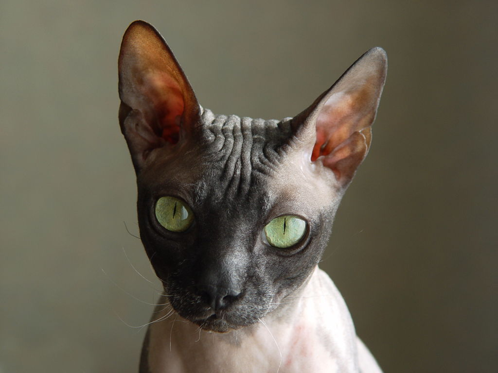 Trebaju li mačje uši biti tople?