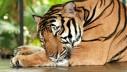 Službeno je – vaša mačka je 95% tigar!