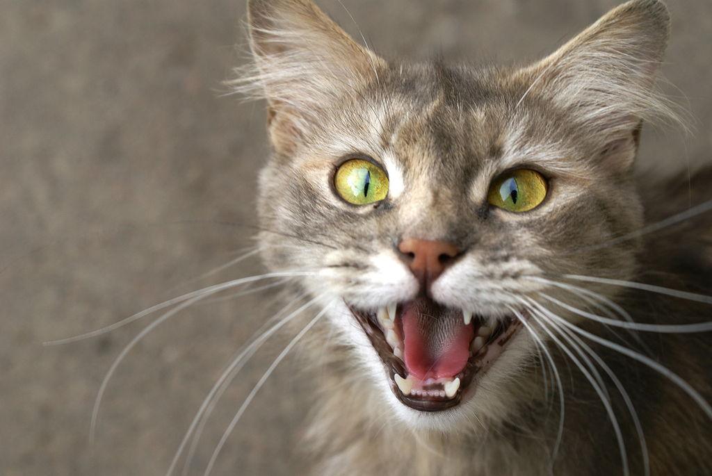 Mijauču li mačke na dijalektu?