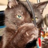 Mačka grize žicu