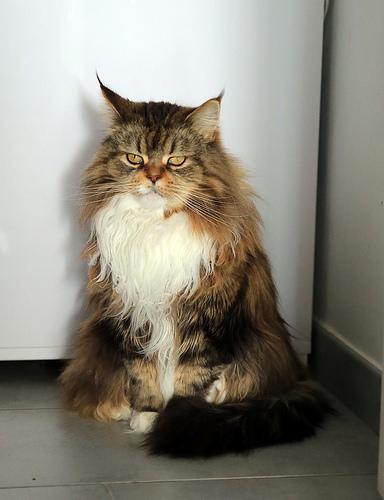cat long hair photo