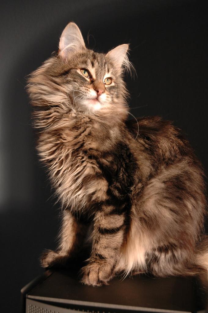 norwegian forest cat photo