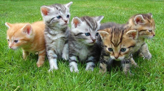 Mačići ili starije mačke?