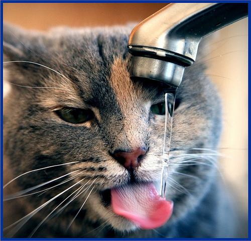 thirsty cat photo